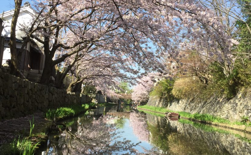 八幡堀の桜🌸